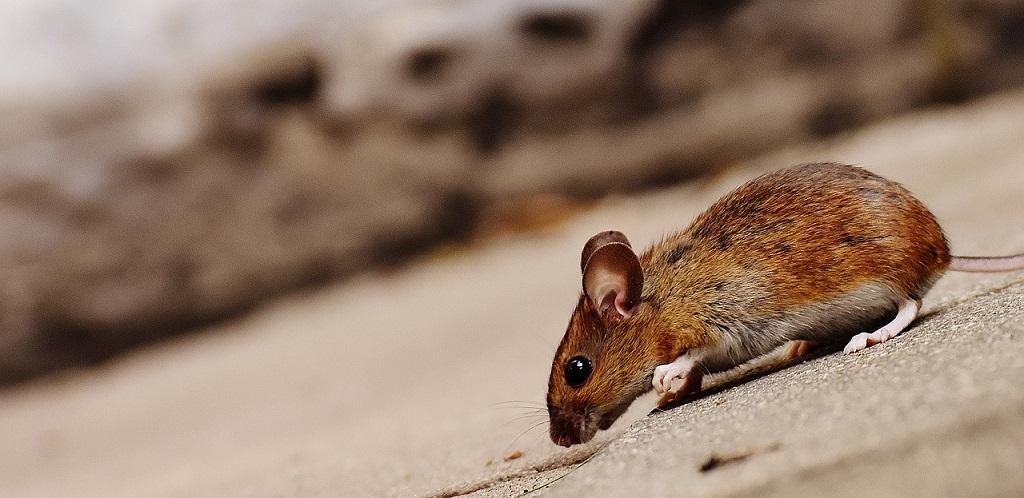 Qué riesgos tienen los roedores para nuestra salud