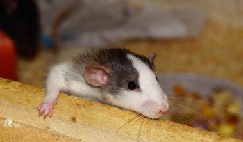 Riesgos roedores salud