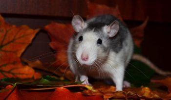 ratas y ratones en el hogar