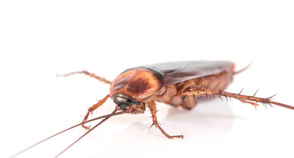 mitos sobre cucarachas